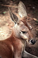 [Big Red Kangaroo Portrait]