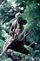 [Pair of Koalas in Tree Top]