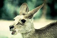 [Bleating Baby Kangaroo]