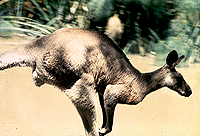 [Close-up Side View of Kangaroo Hopping By]