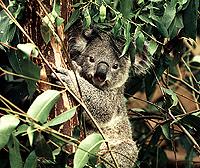 [Koala with Eucalyptus]