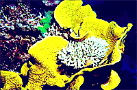[Staghorn Coral]