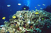 [Diver Behind Coral Bommie]